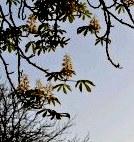 Осенняя весна - в сентябре в Киеве цветут каштаны